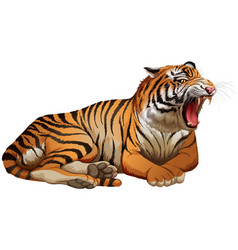 Wild tiger roaring on white background vector