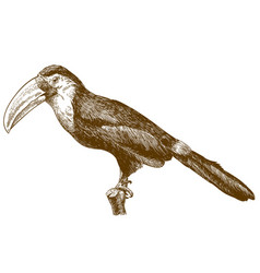 Engraving drawing toucan vector