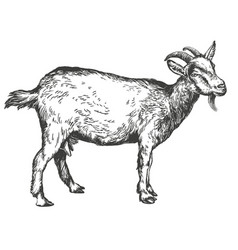 goat hand drawn realistic vector image