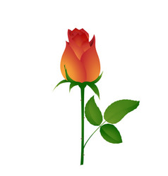 beautiful bud of orange rose vector image