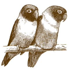 engraving of yellow-collared lovebird vector image