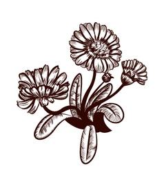Marigold vector image vector image