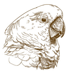 Engraving drawing of white cockatoo head vector