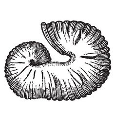 Extinct cephalopod fossil scaphites equalis vector