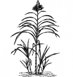 plant saccharum vector image vector image