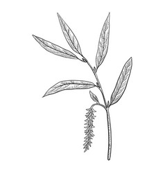 Drawing white willow vector