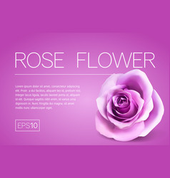 realistic pink rose on white background vector image