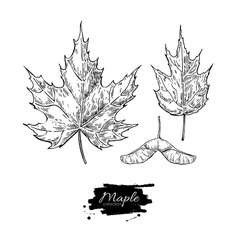 maple leaves and seed drawing set Autumn vector image