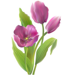 Bouquet violet tulips on a white background vector