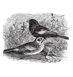 lark bunting vintage vector image