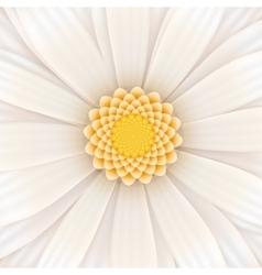 White gerbera flower square vector image