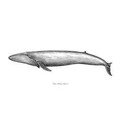 Blue whale hand draw vintage engraving style vector