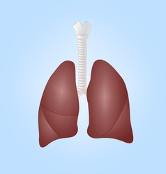 Human lungs and trachea vector image