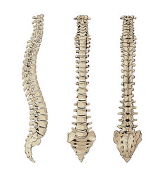 Figure of the spine vector