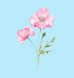 watercolor poppy flower vector image