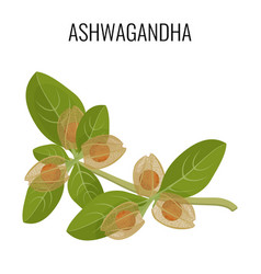 ashwagandha ayurvedic herb isolated on white vector image