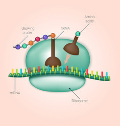 Biosynthesis of protein on ribosome vector