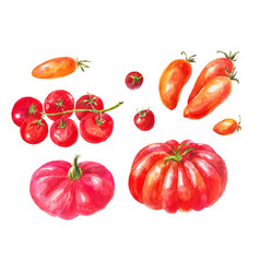 many different tomatoes watercolor set yellow vector image