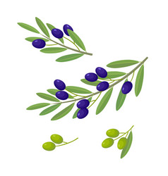 Olive branches with olive fruits vector
