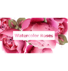 pink roses watercolor background vector image