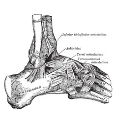 External view ankle joint vintage vector