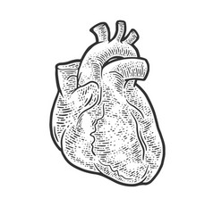 Anatomical human heart sketch vector