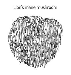 Lion s mane mushroom hericium erinaceus edible vector