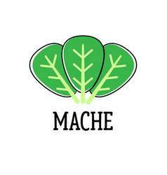 Mache green salad leaves isolated on the white vector