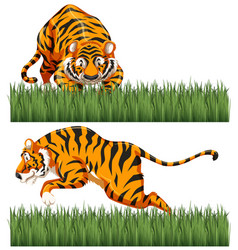 two scenes of wild tiger vector image vector image