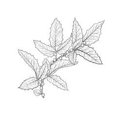 black and white hand drawn holly ilex branch vector image