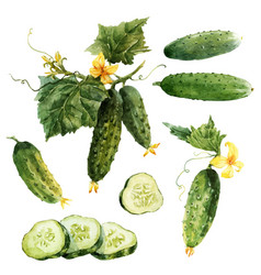 Watercolor cucumber set vector