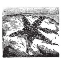 aserias aurantiaca lamarck vintage vector image