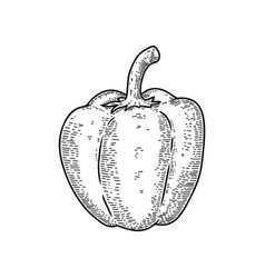 sweet pepper in engraving style design element vector image