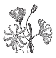 Pentacrinus europaeus thompson vintage vector