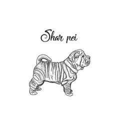 sharpei breed of dogs vector image