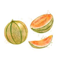 Watercolor melon cantaloupe vector