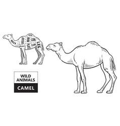 cut of camel set poster butcher diagram - desert vector image