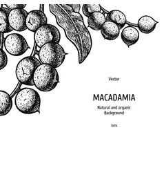 Hand drawn background with macadamia nut vintage vector