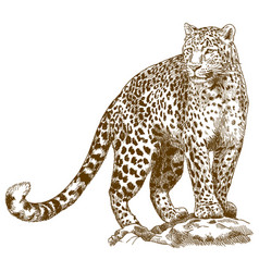 Engraving drawing of leopard vector