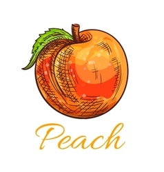 Fresh orange peach fruit sketch for food design vector