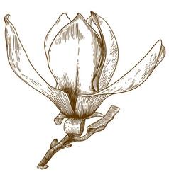 Engraving magnolia flower vector