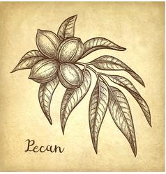 Pecan ink sketch vector