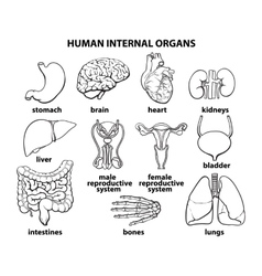 The internal organs of man set vector image