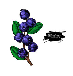 Blueberry drawing isolated berry branch o vector