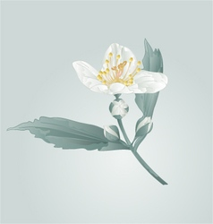 Spring flower twig jasmine flower and buds vector image