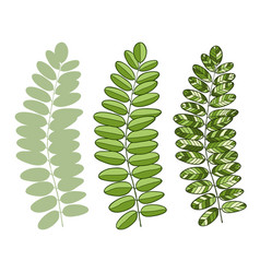 green acacia leaves isolated for interior design vector image