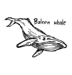 baleen whale - sketch hand drawn vector image