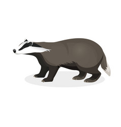 Badger on short legs in realistic style isolated vector