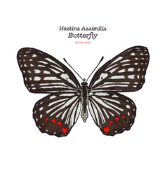 beautiful colorful hestina assimilis butterfly vector image