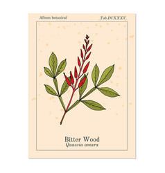 Bitter-wood quassia amara or amargo bitter-ash vector